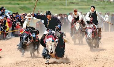 藏族赛牦牛