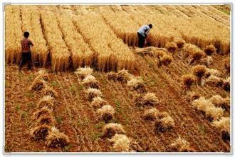 芒种麦客子