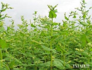国内的苦荞麦茶大都是由四川大良山地区无污染,高山环境中生长在海拔3000米的苦荞麦植物最有营养的种子