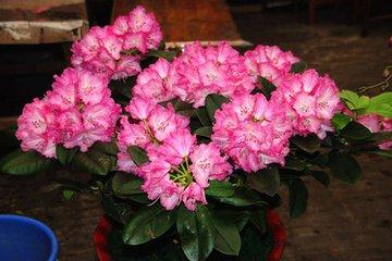 广东春节花卉