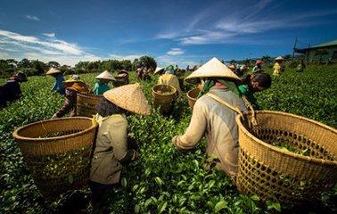 茶叶的原产地