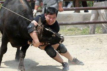 嘉兴端午节掼牛习俗