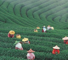 台湾茶叶图片