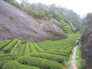 牛栏坑,位于章堂涧与九龙窠之间,不过是狭窄的山谷中一条常年流水不断的清幽溪涧。但是爱茶的人,到了