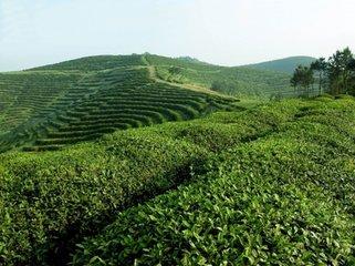 有机绿茶背后的真相是什么,它能为您做什么,以及它生长的地区?有机绿茶在零售商和消费者中越来越受欢