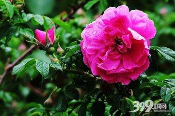 谷雨的诗句:蔷薇雨