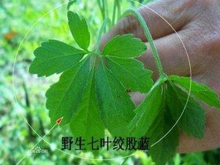 绞股蓝茶也被称为绞股蓝凉茶,是从植物的绞股蓝家系五角门最有名的中药。绞股蓝生长在中国南部,越南北