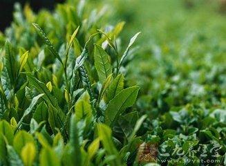 茶树精油的功效与作用