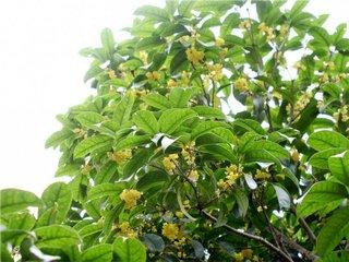 桂花茶起源于中国。桂花是木犀科植物中的一种开花植物,其花卉生长在小圆锥花序中。桂花也被用于护肤品