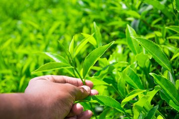 大多数从货架上挑选绿茶茶叶的人都没有想到它的意义,历史和绿茶茶叶的好处。大多数人都知道这一点,但