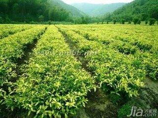 每天喝3杯绿茶或白茶预防癌症的好处  也许你从来没有听说过白茶。但有证据表明绿茶和白茶对健康有益。