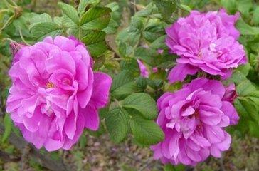 玫瑰花来自蔷薇科,有数百种,玫瑰花茶不仅味道好,而且有很多药用价值。除了装饰和礼品外,玫瑰还用于