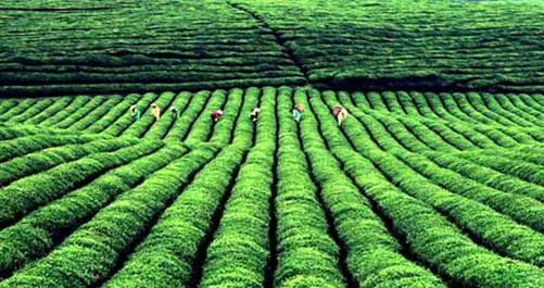 普洱茶的产地