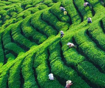 如何准备滇红功夫茶?