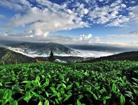 喝古树茶好,还是台地茶呢?