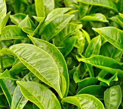 安溪白茶属于什么茶呢?
