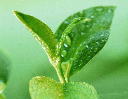 茶和我们的生活息息相关,这是人们生活中不可或缺的。近几年来,一些大陆外学者对于饮茶和人类健康的关
