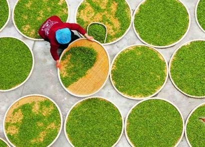信阳毛尖和西湖龙井的制作工艺的区别主要表现在细节方面,因为都是绿茶的缘故,它们的基础工艺是一样的