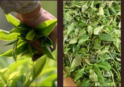 乌龙茶的制作工艺介于红茶和绿茶之间,所以乌龙茶和绿茶的制作工艺的相似度比较高。乌龙茶和绿茶的制作