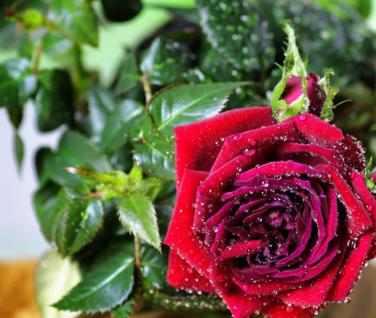 玫瑰花十分常见,其味道独特,通常男同志在求爱的时候,就会选择玫瑰花,对于玫瑰花挑选都是可以放