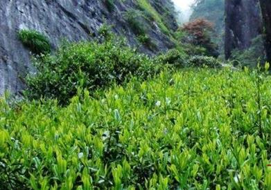 都匀毛尖产自贵州,雀舌茶中的湄潭翠芽也产自贵州,那么都匀毛尖和雀舌茶的产地一样吗?接下来就给大家