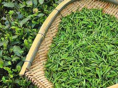 顶级都匀毛尖和雀舌茶的采摘标准是比较相似的,不过经过加工,它们的外形就不相同了,都匀毛尖外形卷曲