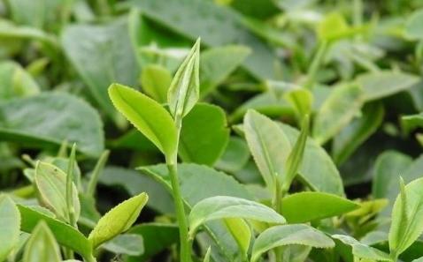 怎么辨别茶叶的品质?