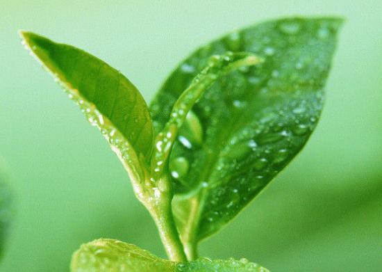 根据众多研究表明得知,绿茶的健康益处使其成为了伟大的饮料。接下来小编来为大家揭示绿茶难以置信的11