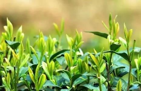 茶叶的咖啡因含量有多少?