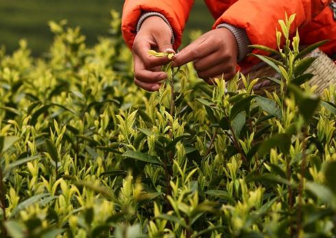 白茶是福建的特产,它是六大茶类其中之一,白茶的功效、作用同其他茶叶基本上是相同的,不过白茶在国内