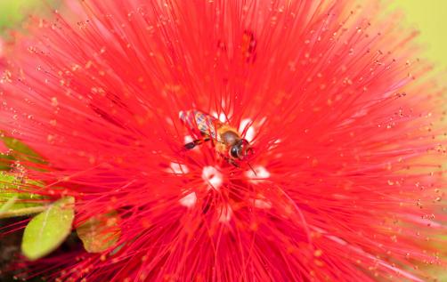 有中医专业的朋友都知道合欢花是常见的中药,是很多中医常用的一种药材。其实合欢花不仅能够作为一种药
