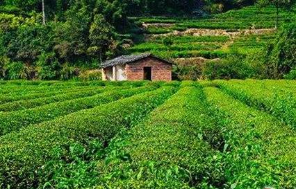 中国红茶的地域分类是什么样的?