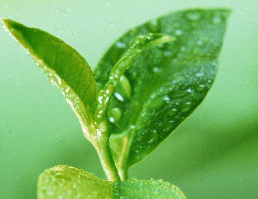 什么是绿茶?什么茶属于绿茶?