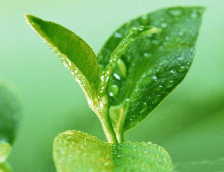 绿茶是我国国饮的一个种类,它是联合国推荐的6大健康饮品之一。为何绿茶会有如此高的地位,喝绿茶的好处
