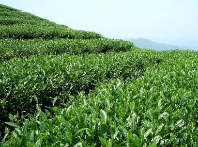 绿茶不能同什么一起吃?
