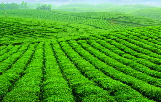 茶叶富含的营养价值有多高?