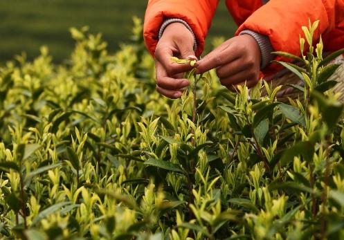 白茶是什么茶类?