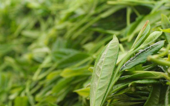 黄山毛峰和龙井茶的发展情况怎么样?其中黄山毛峰发展于唐朝时期,龙井的兴起时代要更早于黄山毛峰。那