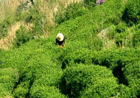 """绿茶类哪个好?信阳毛尖荣获""""茶王""""称号!2007年,中国国际茶业博览会(郑州),信阳毛尖一举夺得""""茶"""
