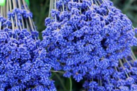 薰衣草是一种开着紫蓝色花朵的植物,它看起来非常的优雅,让人感觉很温馨浪漫,它除了观赏效果以外,还