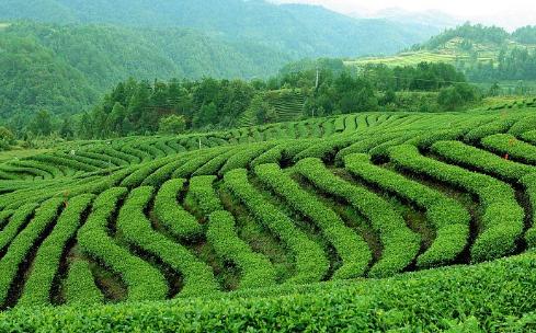 正山小种,又称拉普山小种,属红茶类,与人工小种合称为小种红茶。首创于福建省崇安县(1989崇安撤县设