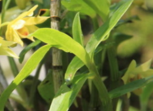 石斛是我国一种非常传统的中药材,主要的入药部位为根茎部,是一种药用植物。石斛有着较高的药用价值,