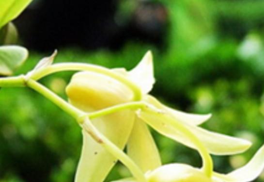 铁皮石斛又称黑节草,属兰科石斛属,是一种珍贵的野生药用植物。其有效成分主要为石斛多糖、石斛碱、氨