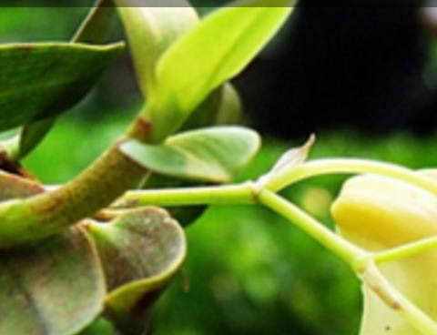 铁皮石斛花的副作用